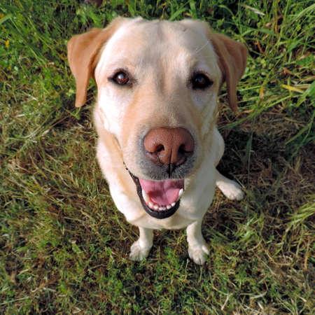 Labrador retriever dorato sorridente da una vista superiore su un fondo dell'erba. Si siede e guarda la telecamera. Archivio Fotografico - 46227284