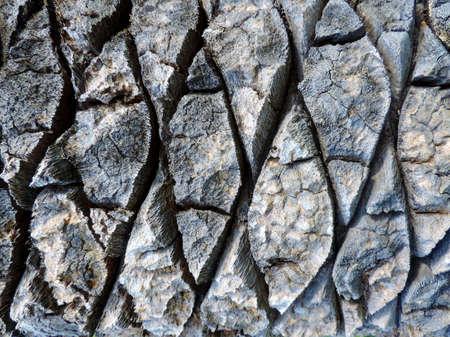 bark palm tree: Horizontal photo of palm tree bark texture. Close up background wood surface photo of rustic weathered palm bark with many cracks.