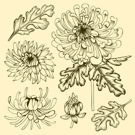 Hand drawn chrysanthemum flowers, leaves and buds