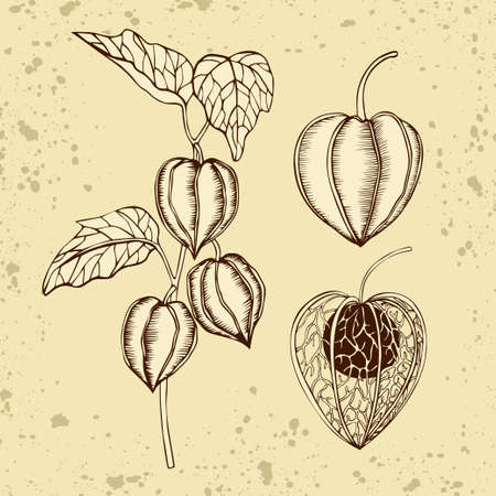 Hand drawn physalis branch and fruits