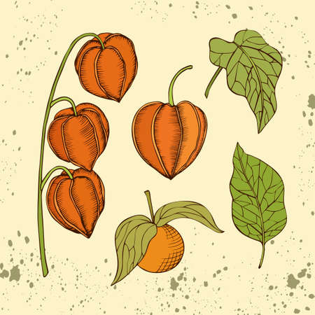 Hand drawn vector chinese lantern plant