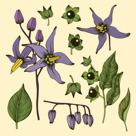 Fleurs, feuilles, bourgeons et baies de morelle mortelle