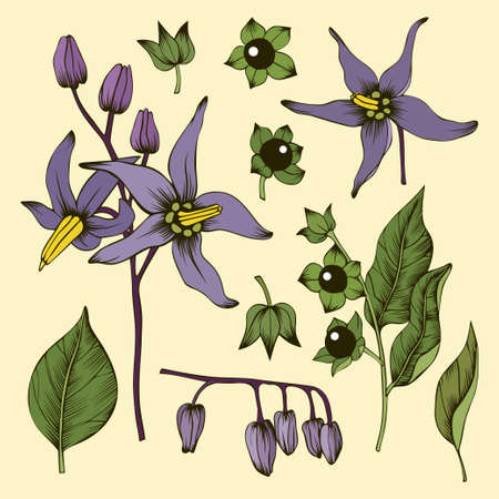 Deadly nightshade flowers, leaves, buds and berries Illustration