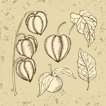 Hand drawn vector physalis fruits and leaves