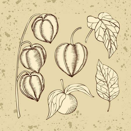 Handgezeichnete Vektor-Physalis-Früchte und -Blätter