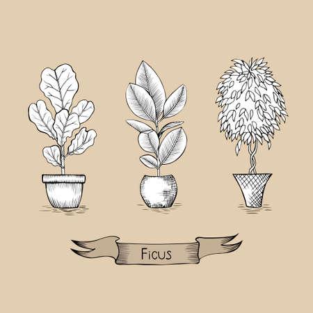 Ficus lyrata, ficus elastica, ficus benjamin dans des pots de fleurs
