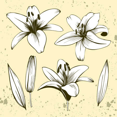 Hand drawn collection of lilies