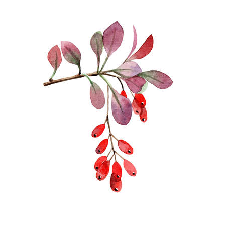 Hand painted watercolor barberry branch