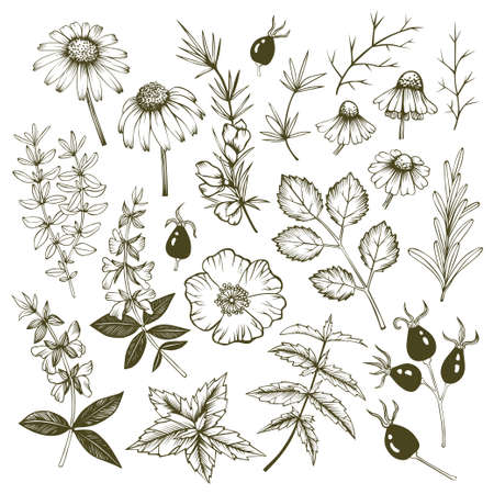 Hand drawn echinacea, rosemary, rosehip, rooibos, salvia, chamomile, mint and thyme