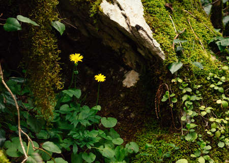 Flowers Doronikum among the moss in the forest. Background with plants. 免版税图像
