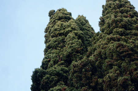 Thujas trees against the blue sky. Landscape. The sky is without clouds. Beautiful background. 免版税图像