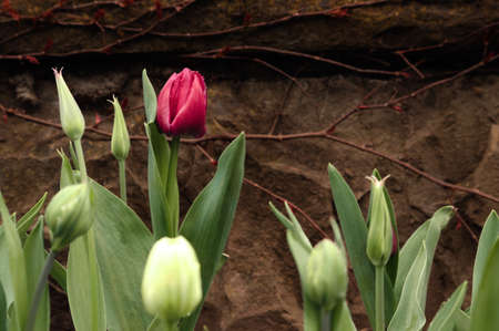 Crimson tulip and not blooming buds on a background of brown stone wall. Background. 免版税图像