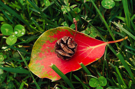Toui cone on a bright leaf lying on the grass after the rain. Beautiful background 免版税图像