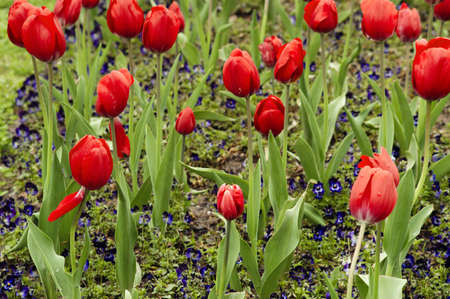 Red tulips and pansies after rain. Beautiful background