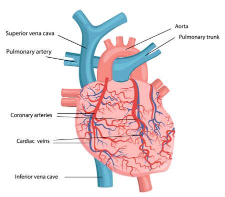 Vector illustration of human heart structure Vector Illustration