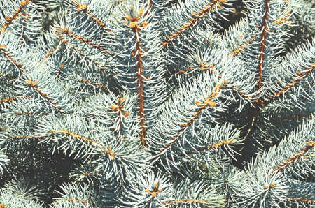 Forest pine - a symbol of the new year and freshness Stock Photo