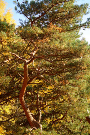 many branches: Pine tree with many branches