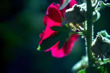 mallow: macro pink mallow flower Stock Photo