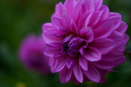 dahlia flower: Macro dahlia flower Stock Photo
