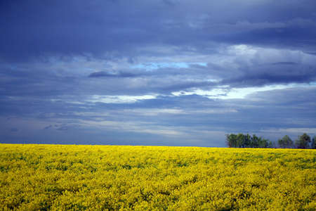 florescence: yellow field after rain