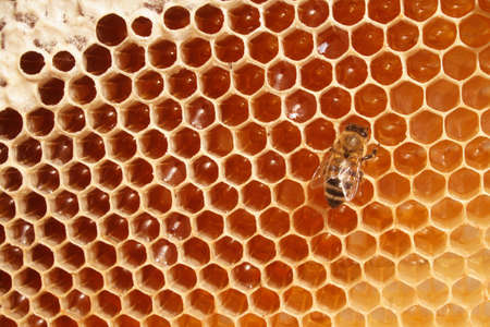 honeyed: Macro of working bee on the honey cells