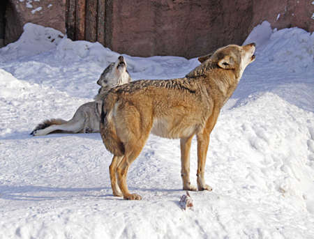 howl: March. A zoo. Wolves howl, highly having lifted upwards the muzzles. Stock Photo