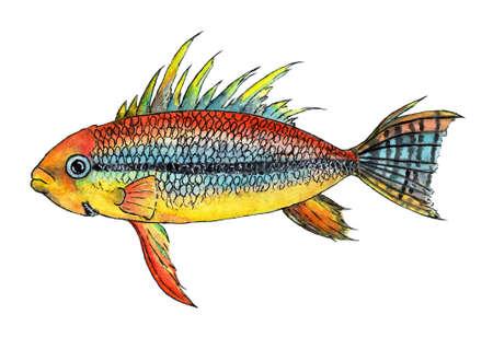 Tropical fish apistogramma cacatuoides Stock Photo