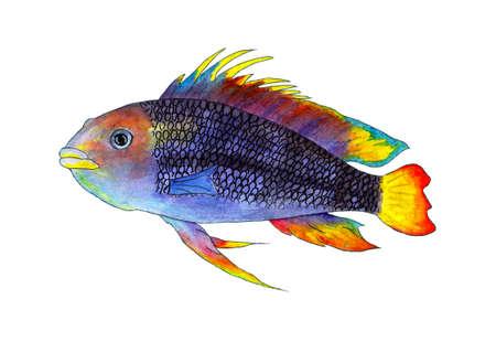 Aquarium fish apistogramma, tropical fish