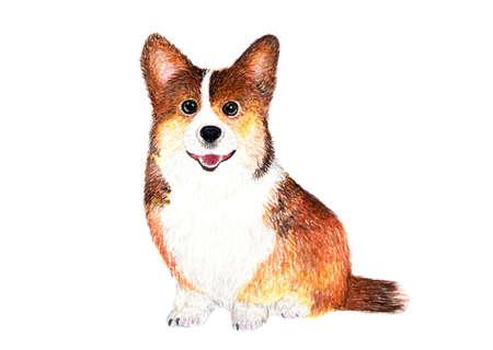 Welsh Corgi Pembroke Terrier. Dog. Watercolor illustration. Stock Photo