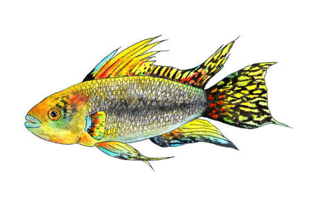 Tropical fish apistogramma cacatuoides. Watercolor illustration. It is a tropical fish apistogramma cockatoo, exotic fish in the aquarium. Watercolor fish for fashion print, poster for textiles, fashion design.