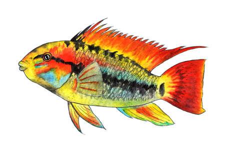 Apistogramma macmasteri. Tropical fish. Watercolor illustration. Dwarf cichid, cichlidae. Watercolor fish for fashion print, poster for textiles, fashion design. Stock Photo