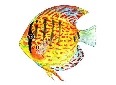 Tropical Fish Discus. Watercolor illustration. It lives in warm tropical waters and aquariums.