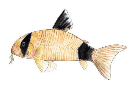 Corydoras panda Aquarium fish, catfish. Watercolor illustration.