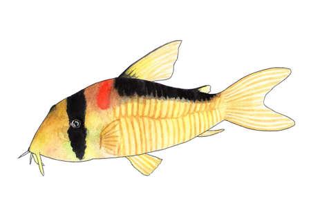 Corydoras adolfoi. Aquarium fish, catfish. Watercolor illustration. Corydoras adolfoi is a very elegant catfish, rarely found in domestic aquariums.