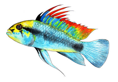 Apistogramma trifasciate. Dwarf cichlid. Aquarium fish, tropical fish. Watercolor illustration. Bright tropical fish. Belongs to the family of cichlids. Its name was given to the fish by three strips on its body.