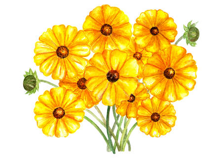 Flower bouquet coreopsis sunray. Watercolor illustration. Yellow flowers in bouquet. Coreopsis sunray. Element for printing, design, illustration for cards, books, packaging paper.