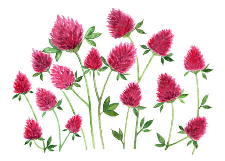 Red clover.  illustration. Meadow flowers red clover on white background. Clover branches with flowers. Illustration for printing in books, on fabrics, packaging. Stock Photo