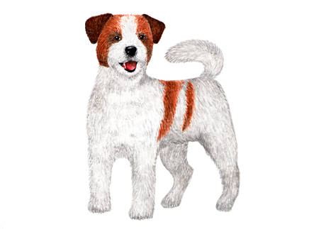 Long-haired Jack Russell Terrier. Watercolor illustration. Portrait of long-haired Jack Russell Terrier. Illustration for printing.