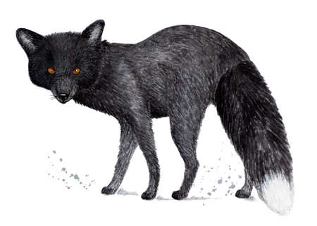 Silver fox, black fox. Watercolor illustration. Silver-black fox or silver fox. Illustration for a book about animals, for printing on fabrics, in magazines, etc. Stock Photo