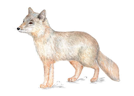 Corsac fox. Illustration painted in watercolor. Corsac, one of the foxes. Illustration for a book about animals, for printing on fabrics, in magazines, etc.
