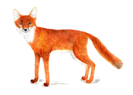 American corsac, one of the species foxes.