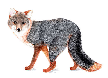 Grey fox, wood fox. A kind family of wolves that live in North and Central America and in the far North of South America.