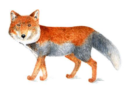 Tibetan fox. Tibetan fox is the smallest representative of the genus Fox. Stock Photo