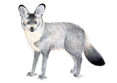 Bat-eared Fox. Watercolor illustration.