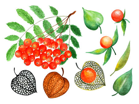 Ashberry and physalis. Watercolor illustration.Ashberry and physalis. Illustration for design, decor, books, printing on fabrics. Stock Photo
