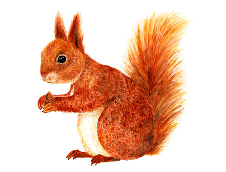 Squirrel. Watercolor illustration. Squirrel painted in watercolor isolated on white background. Illustration for design, decor, printing.