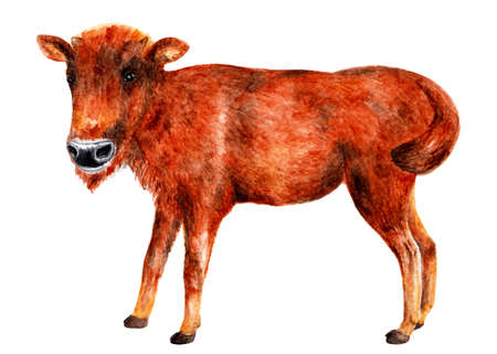 Young bison. Watercolor illustration. Teen bison stands and looks at the camera. Illustration for design, decor.