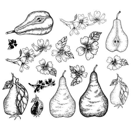 Pears and pear flower big set in engraving vintage style.