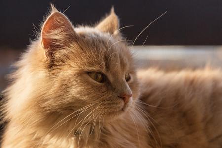 Gato del jengibre en el balcón en el parque soleado . Foto de archivo - 103004833