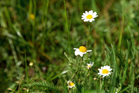 Camomile flowers in a summer field. Copy space, selective focus.